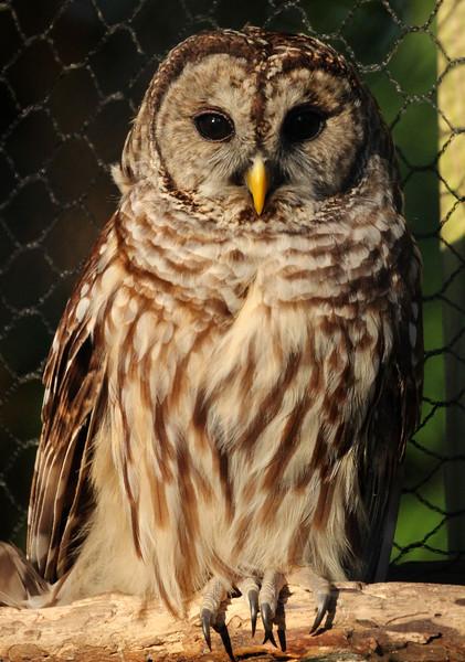 Barred Owl 5-9-15 062.jpg
