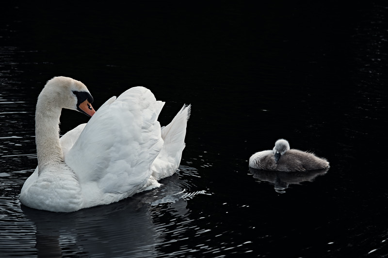 Swans_Of_Castletown007.jpg