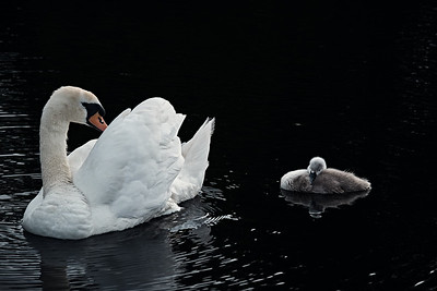 Swans Of Castletown