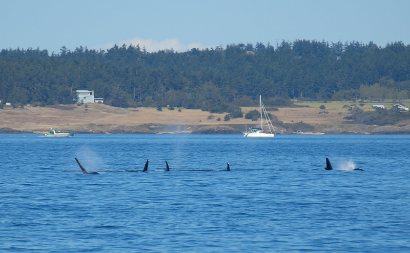 Lots of Orcas