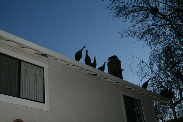 2013 Turkeys on Roof