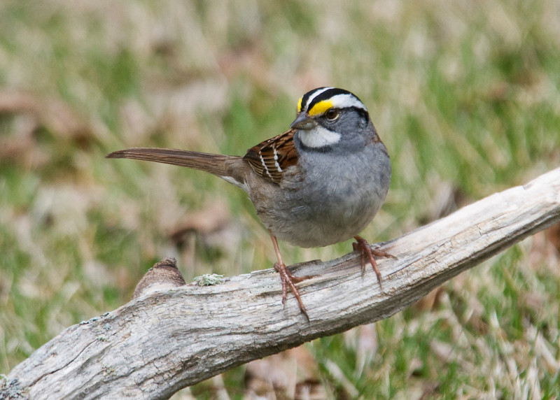 Sparrow - White-throated - Dunning Lake, MN - 02