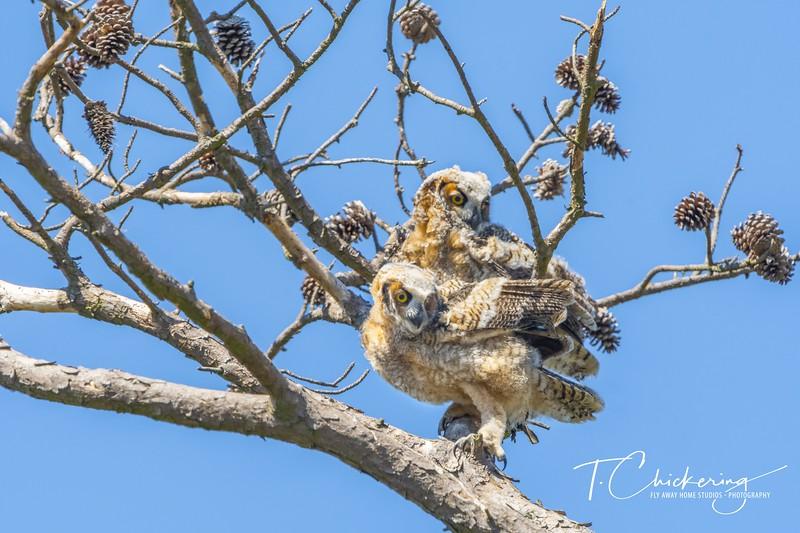 Great Horned Owl Chicks Branching.jpg