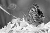Gate Keeper - Pyronia tithonus (42)