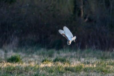Owls - Barn Owls 2021