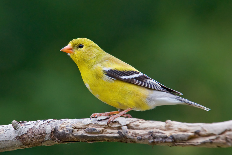 Goldfinch - American - female - Dunning Lake, MN - 03