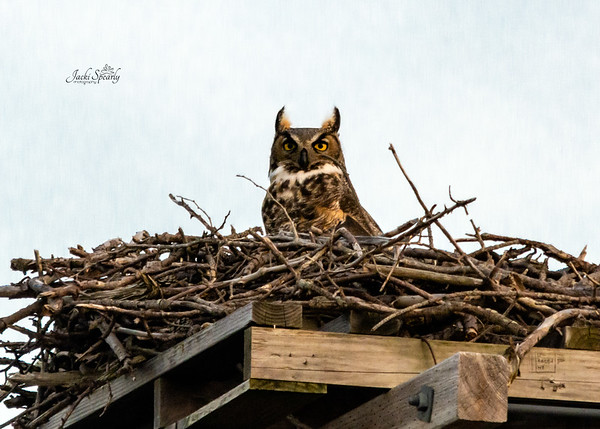 Great Horned Owl and baby owlet in NJ