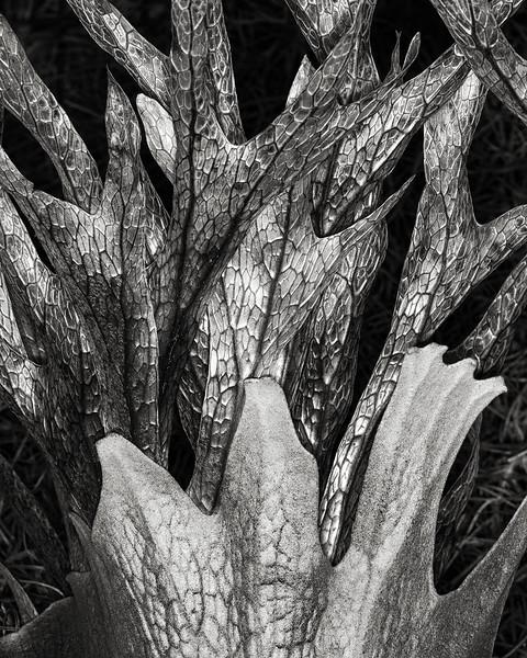 staghorn fern skeleton