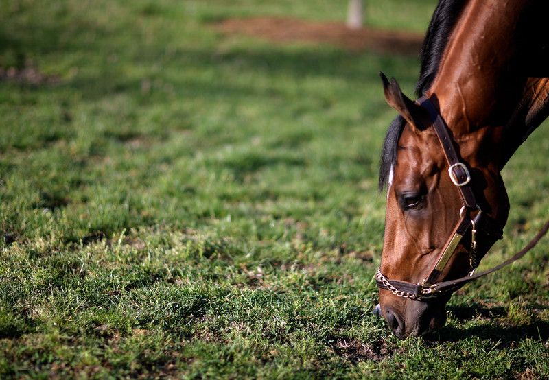 . Kentucky Derby entrant Uncle Sigh grazes after a morning workout at Churchill Downs Friday, May 2, 2014, in Louisville, Ky. (AP Photo/David Goldman)
