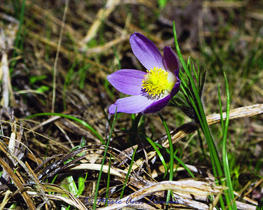 Pasqueflower - Anemone patens in April