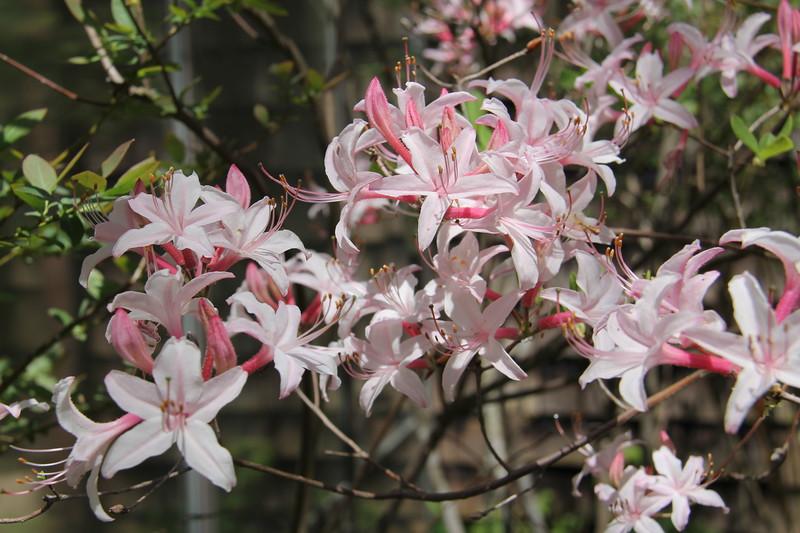 pinxterflower azalea