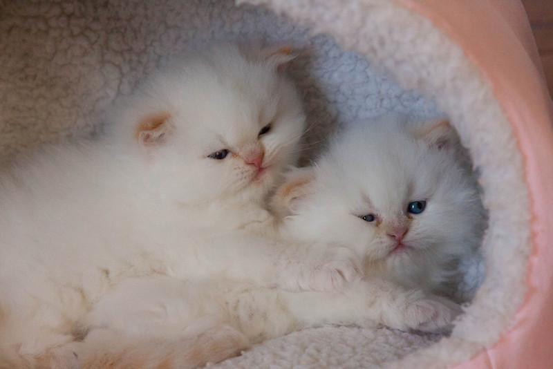 Himi_Kittens_Nov30-7930.jpg