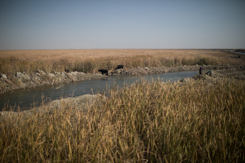 Cattle grazing at the lush and green Mesopotamian Marshes.