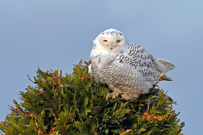 Owls, Nighthawks, Chuck-Wills-Widow