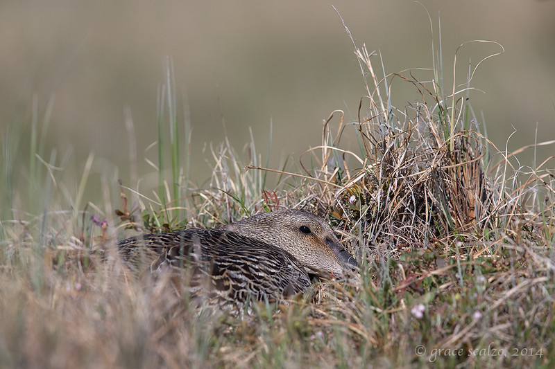 Common Eider on Nest, Churchill, Canada, June 2014