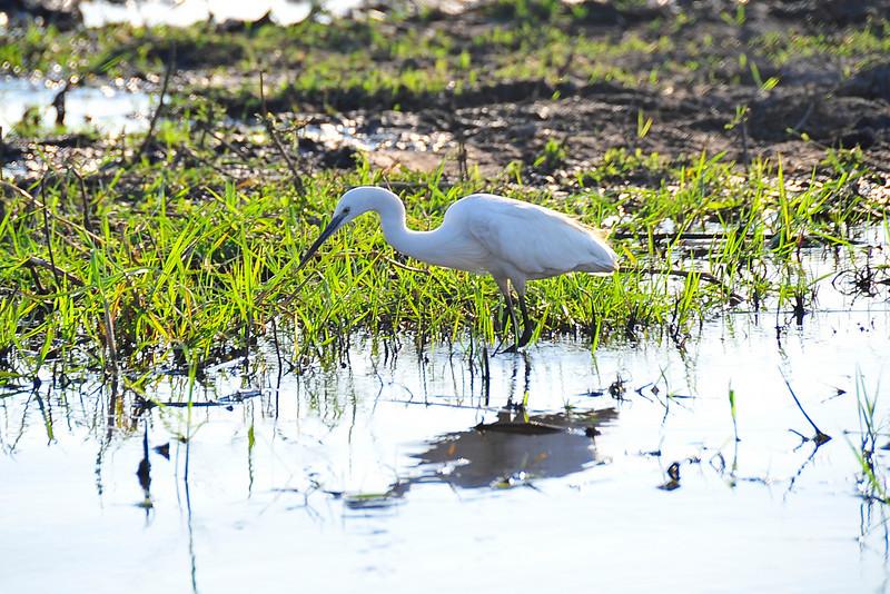 EPV0192 Great Egret