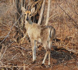 Kruger Duiker