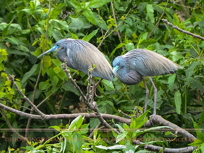 Mating Pair, Little Blue Herons, Smith Oaks Rookery, High Island, TX