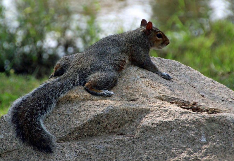 Squirrel on rock