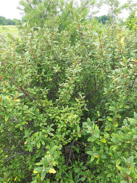 Canadian Buffaloberry , in Area 5 (Photo by Jennifer Jackman)