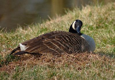 Nesting Goose 2006