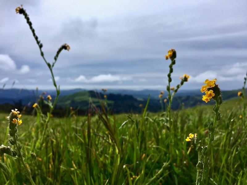 Fiddleneck Flower Power
