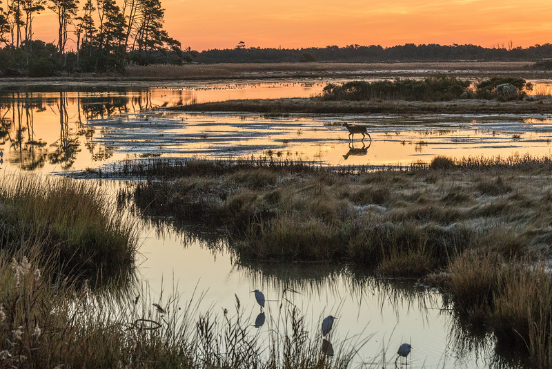 Dawn Chincoteague with Sika Deer & Frost