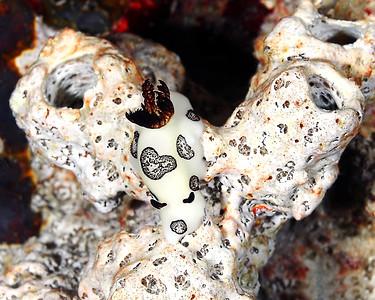Nudibranch white-black