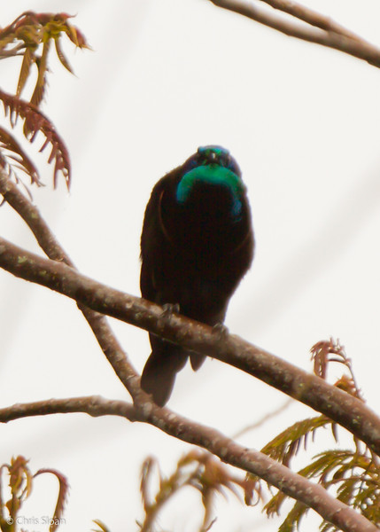 Stephanie's Astrapia at Ambua Lodge, Southern Highlands Province, Papua New Guinea (10-04-2013) 1613.jpg