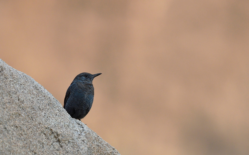 Blue-rock-thrush-hampi.jpg