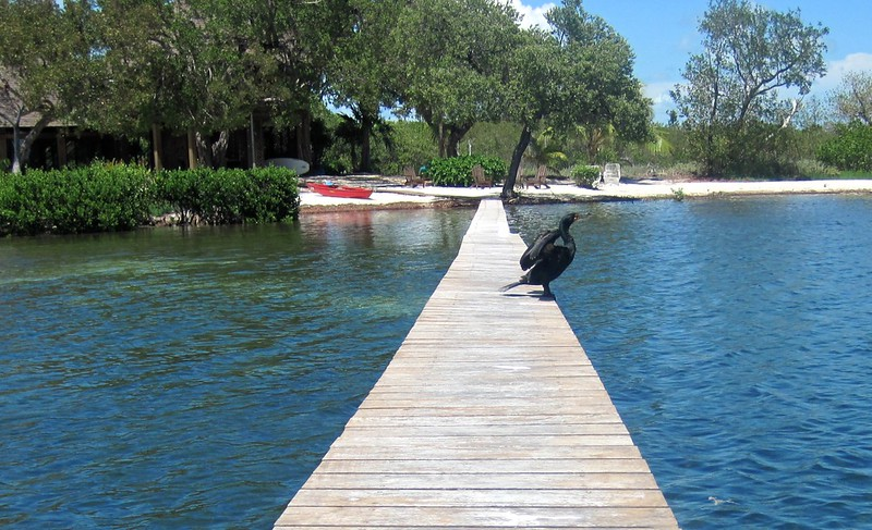 cormorant on the dock