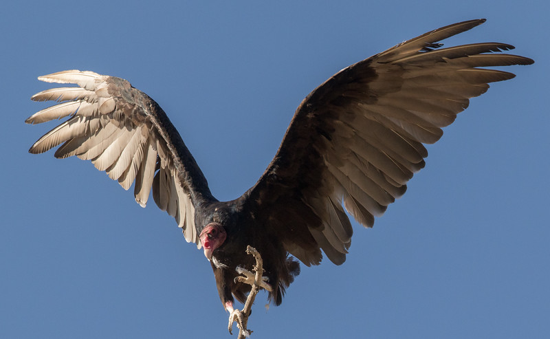 Turkey Vulture Lone Pine 2016 07 24-3.jpg
