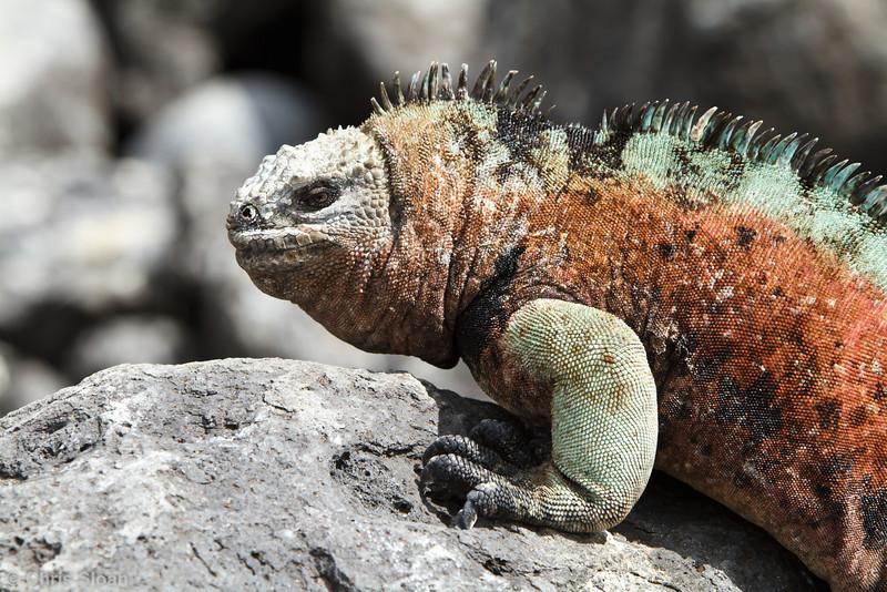 Marine Iguana at Floreana, Galapagos, Ecuador (11-22-2011) - 358.jpg