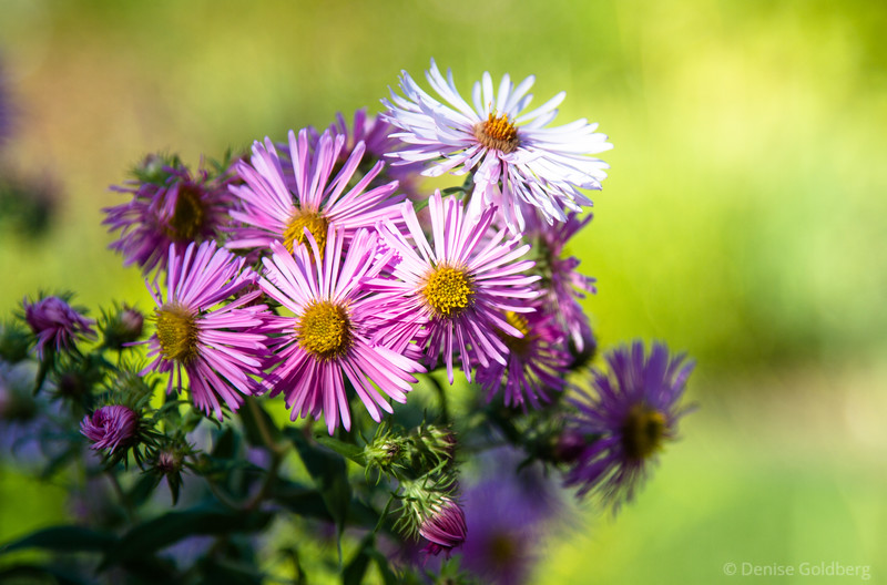 asters in pink