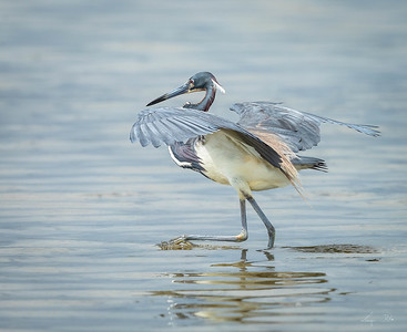 aigrette tricolore , tricolored heron