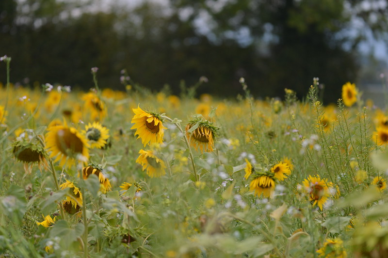 Sunflower Lonay_20092020 (79).JPG