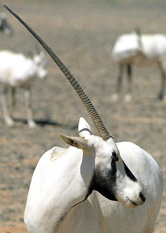 . <p>16. UNICORNS <p>According to legend, they�re often entrapped by virgins, kind of like professional athletes.  (Jamal Nasrallah/AFP/Getty Images)