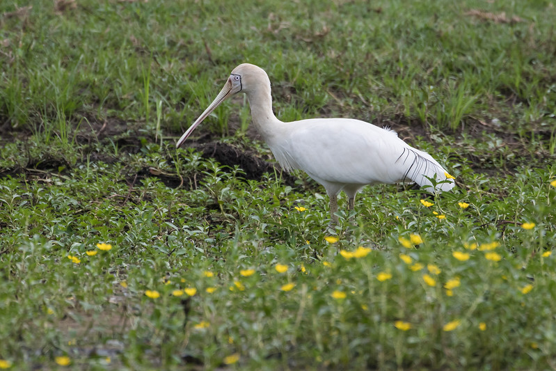 Yellow-billed Spoonbill feeding in small pond