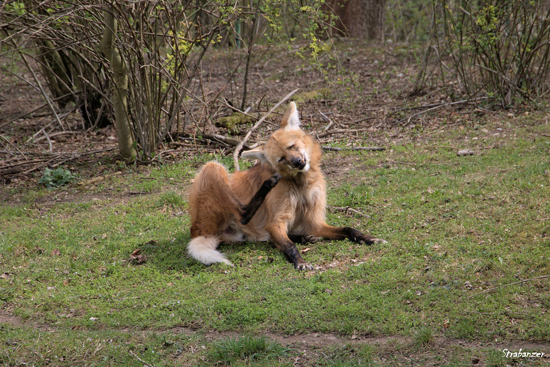 Munich Tierpark, Adult Male Maned Wolf,  04/04/20199 This work is licensed under a Creative Commons Attribution- NonCommercial 4.0 International License