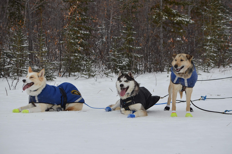 Sled dogs are happy
