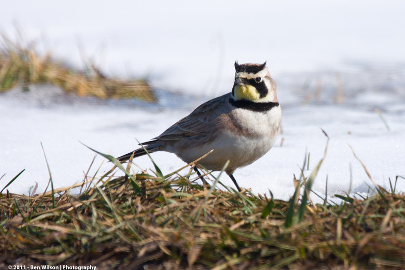 Horned Lark @ Lake Elmo Regional Park