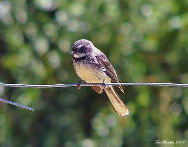 Birds - Passerines