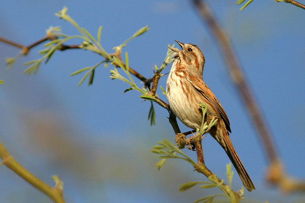 Sparrows, Pipits, Towhees, Wagtails, Wrens