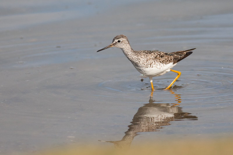 Greater Yellowlegs - Anchorage, AK, USA