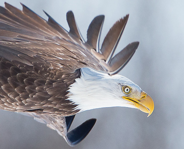 Bald Eagle_NH