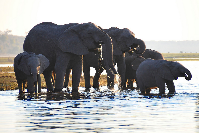 EPV0513 Elephants at Chobe River.jpg