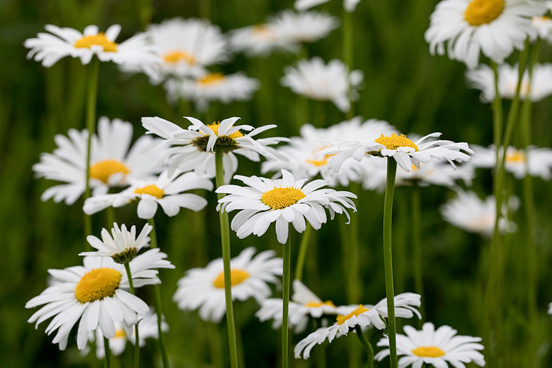 Field of Daisies_1144