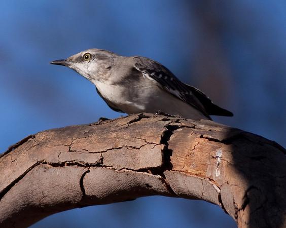 Mockingbirds