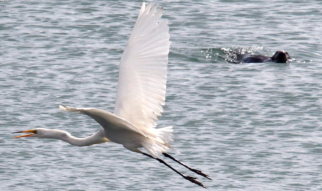 . A sea otter keeps an eye on an egret flying low over the slough.
