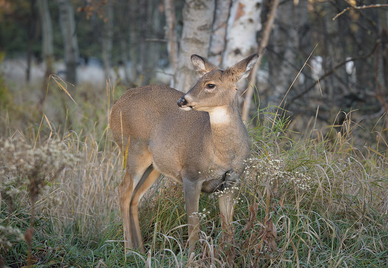 Mission sunrise Nov 4 2016 Deer 3.jpg